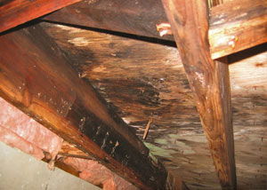 Extensive crawl space rot damage growing in