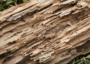 Termite-damaged wood showing rotting galleries outside of a Fillmore home